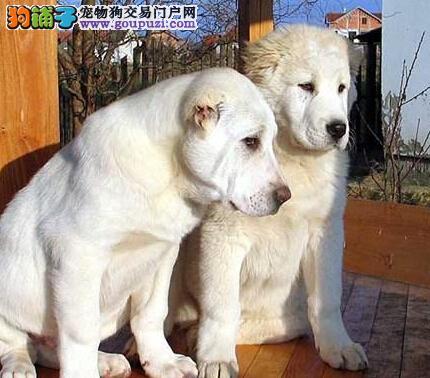 什么情况下才需要为中亚牧羊犬使用补充剂