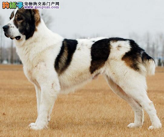 训练中亚牧羊犬需要了解哪些注意事项