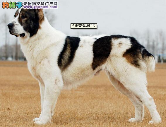 正规的为中亚牧羊犬美容都包括哪些步骤