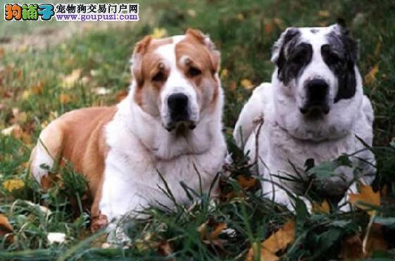 合理安全饮食 给中亚牧羊犬吃出一个健康的身体