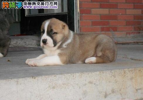 保证良好发育 如何让中亚牧羊犬不挑食厌食