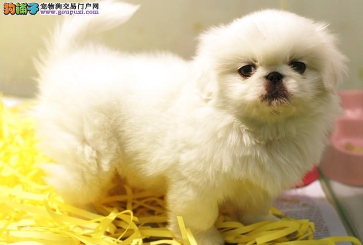 纯血统京巴幼犬、自家繁殖保健康、提供养护指导