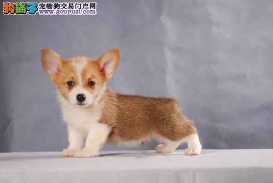 南京专业繁殖售威尔士级柯基幼犬品相好健康保障签协议