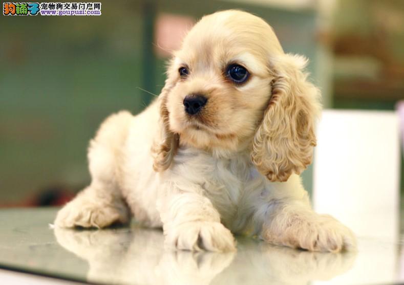 青岛自家狗场繁殖直销可卡幼犬签订终身纯种健康协议