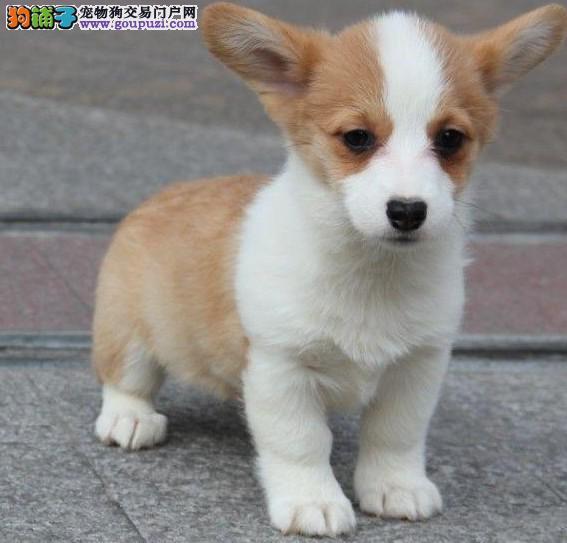 优质柯基犬幼犬拉萨市三色双色售威尔士柯基犬防疫齐