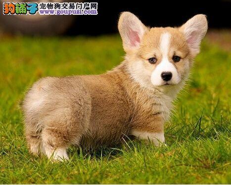 北京市出售纯种柯基犬 短粗腿 签协议 免费饲养指导