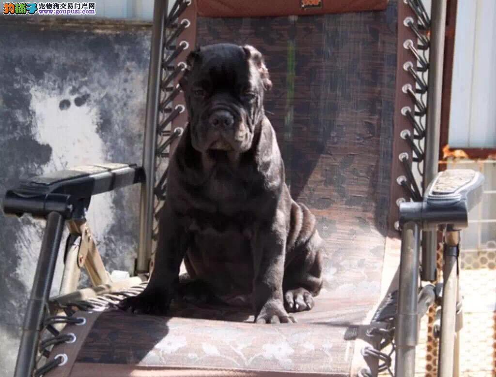 高品质的葫芦岛卡斯罗犬找爸爸妈妈送用品送狗粮