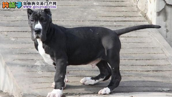 出售极品大丹犬幼犬完美品相品质血统售后均有保障