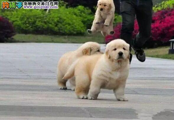 自家专业繁殖纯种金毛幼犬宝宝,活泼可爱