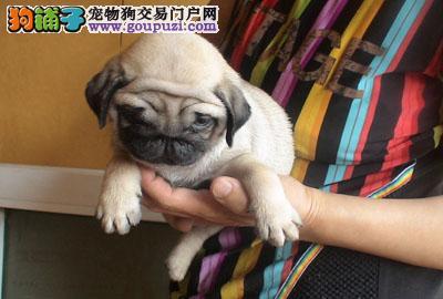 巴哥犬多少钱一只