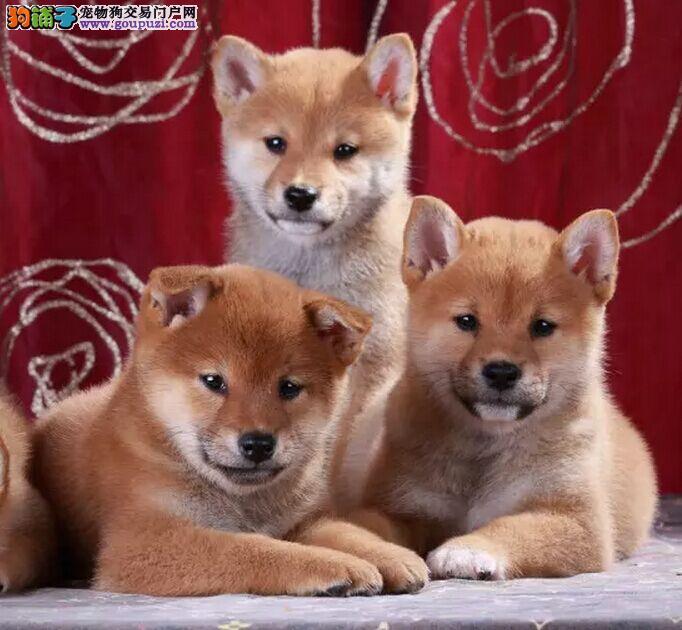 出售柴犬宝宝,欢迎选购