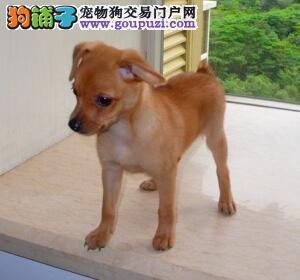 北京售精灵般的小鹿犬 小巧可爱 契合都市饲养 包养活