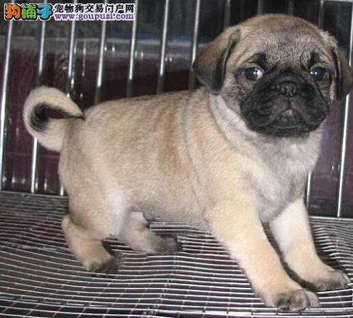 短毛小型犬巴哥幼犬狗狗 小型伴侣犬容易打理的狗