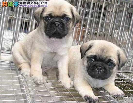 巴哥犬是体贴,可爱的小型犬