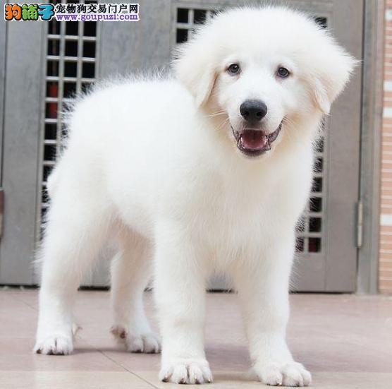 专业的大白熊犬舍终身保健康微信咨询看狗狗照片