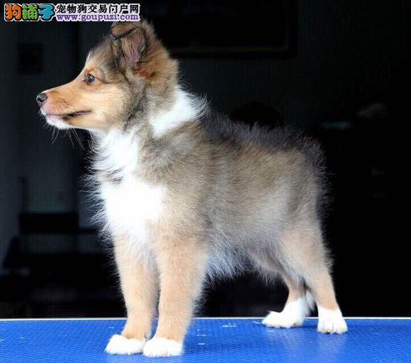 最大犬舍出售多种颜色喜乐蒂保证品质完美售后3