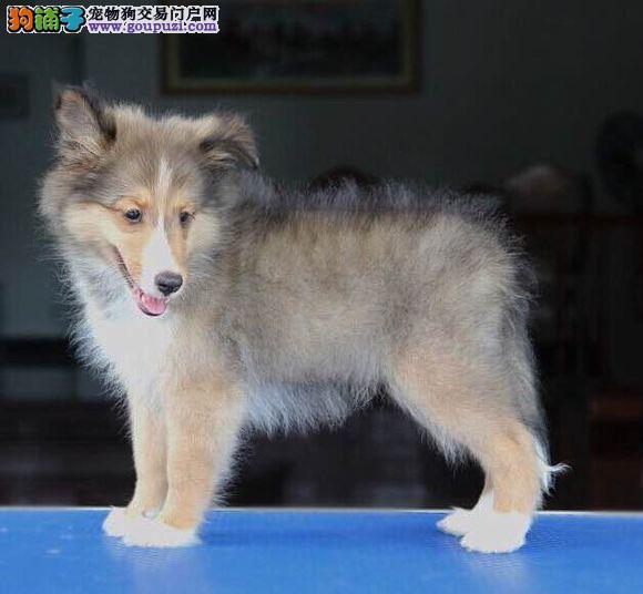 最大犬舍出售多种颜色喜乐蒂保证品质完美售后4