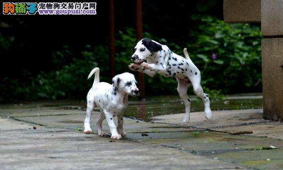 斑点狗休克的发病原因及防治要点