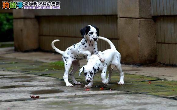 出售纯种斑点狗幼犬自己家的狗生的可视频