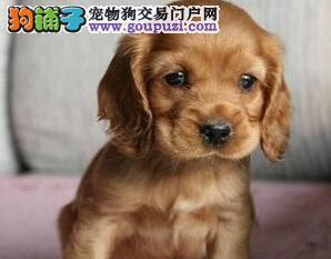 海口三个月大可卡犬待售纯种健康 可签售后协议