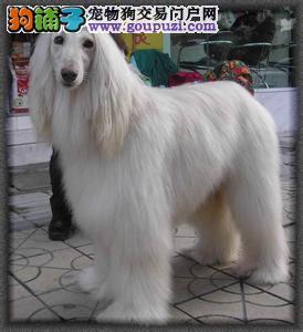 家养阿富汗猎犬出售,品相血统一级棒,专业信誉服务2