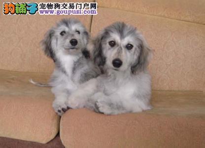 昆明市出售阿富汗猎犬 包纯种健康 价格优惠 签协议