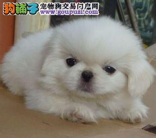 铜仁知名犬舍出售多只赛级京巴欢迎您的光临