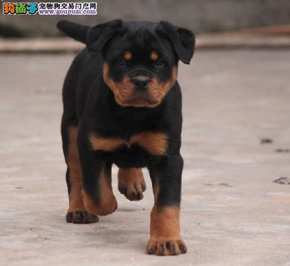 出售北京罗威纳健康养殖疫苗齐全爱狗人士优先图片