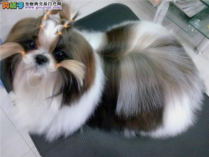 桂林出售西施犬 适合家庭小型犬 可爱温顺西施幼犬