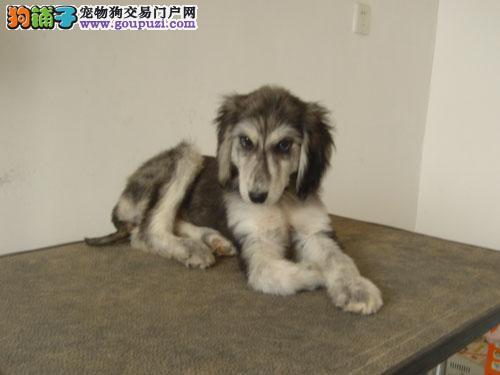出售正宗血统优秀的阿富汗猎犬终身售后送货
