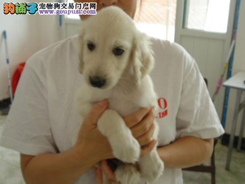 出售多种颜色郑州纯种阿富汗猎犬幼犬欢迎爱狗人士上门选购