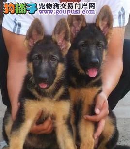 大型专业培育狼狗幼犬包健康签署质保合同