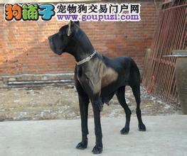 出售高端大丹犬 打完疫苗证书齐全 购犬可签协议