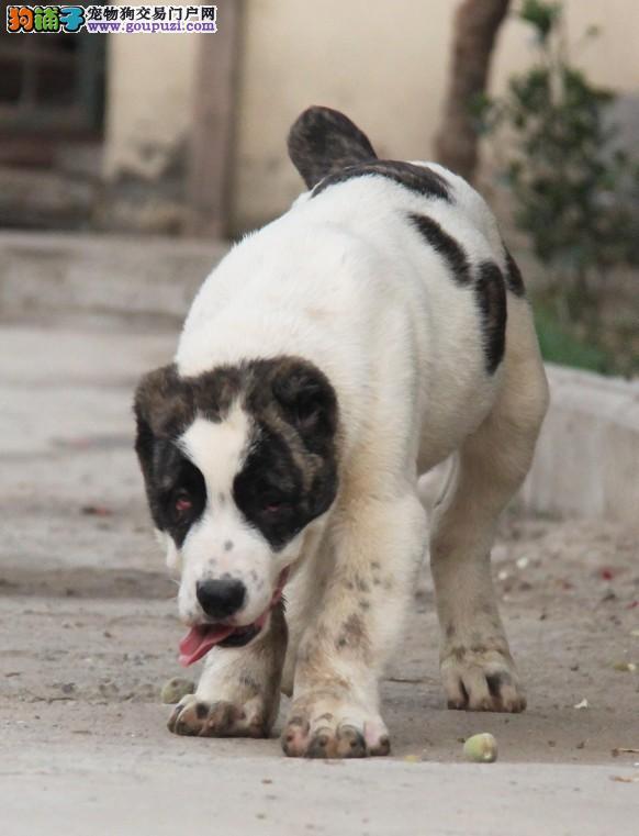 纯种中亚牧羊犬幼崽、疫苗驱虫已做、质保全国送货1