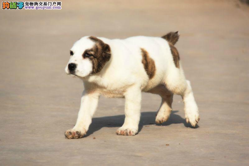 家养赛级中亚牧羊犬宝宝品质纯正赠送全套宠物用品