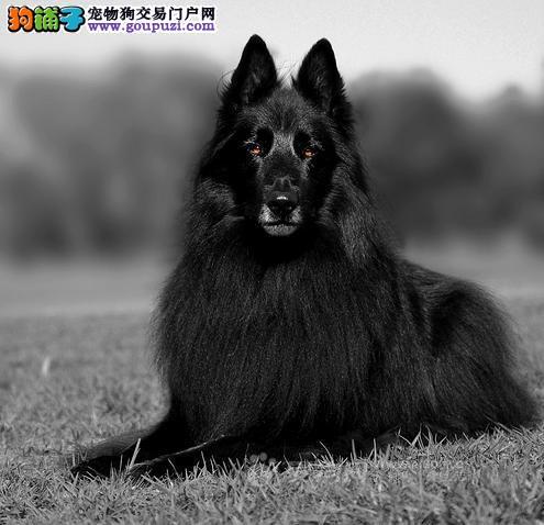 泸州纯种马犬幼犬比利时牧羊犬家养繁殖出售保纯种健康
