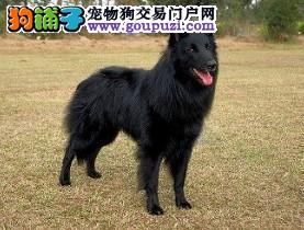 连云港出售自家繁殖赛级纯种比利时牧羊犬4