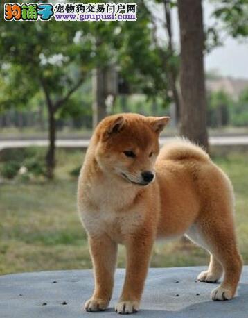 出售纯种健康的柴犬 公母均有图片