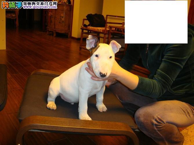 廊坊自家极品虎斑色子弹头极品牛头梗幼犬找新家保健康