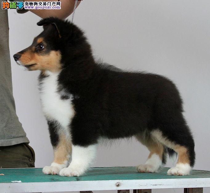 晋中市出售喜乐蒂牧羊犬 可视频看狗 疫苗齐全终身质保