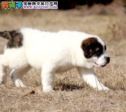 北京精心繁育中亚牧羊犬 国外引进纯血统种犬 健康幼犬
