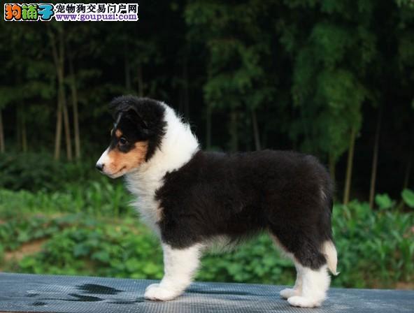 北京出售赛级纯种喜乐蒂犬健康品质终身质保本市免费送
