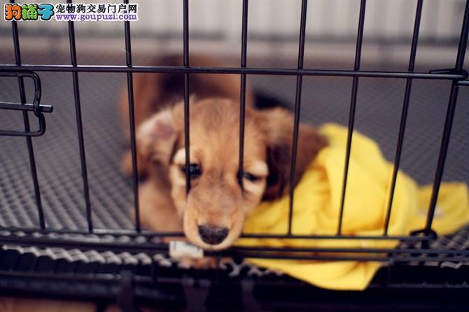 腊肠犬 不以价格惊天下 但以品质惊世人微信选狗直接视频2