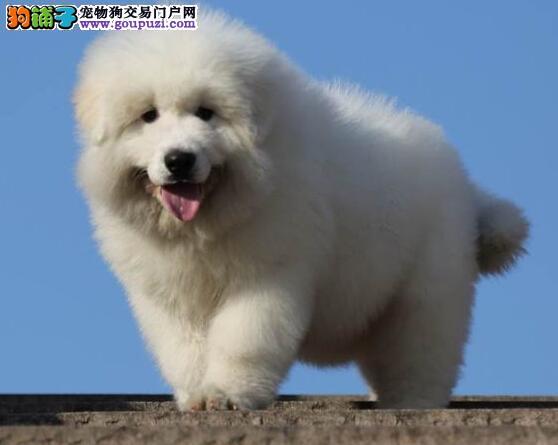 基地繁殖赛品 白熊幼犬 带证书 北京可送狗上门