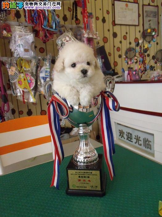 最大犬舍出售多种颜色茶杯犬血统证书芯片齐全