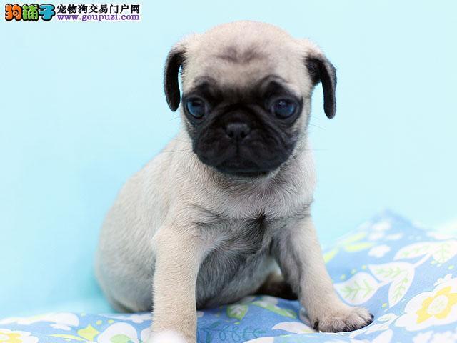 出售纯种巴哥幼犬 巴哥幼犬照片 巴哥幼犬