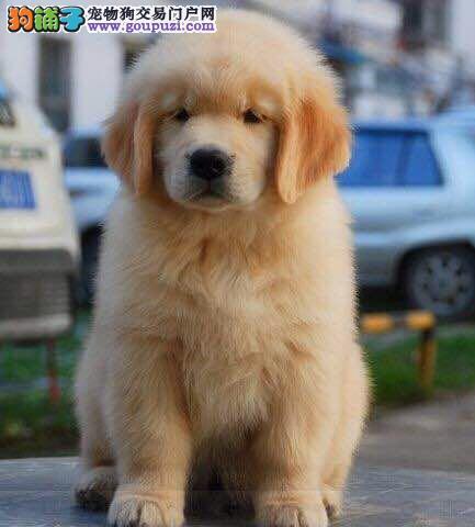 火爆低价转让金灿灿的金毛犬 潍坊周边的朋友上门选