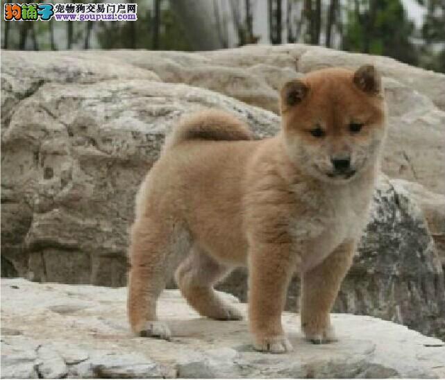 广州自家繁殖出售日系柴犬 网红表情包小柴犬幼犬转让