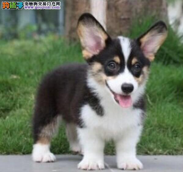 CKC国际京师犬业售日本本土冠军JACK直子质保三年