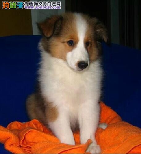 多种颜色的赛级喜乐蒂幼犬寻找主人金牌店铺有保障